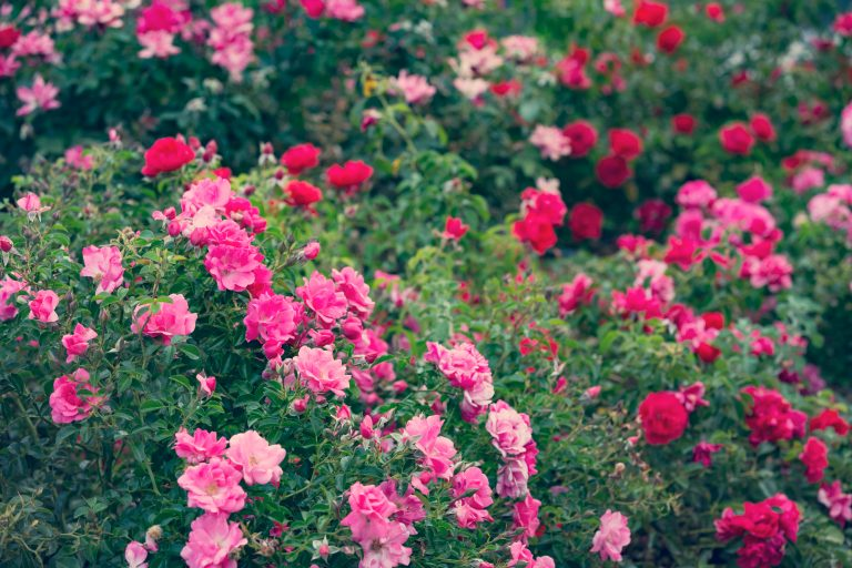 roses PZLSZZU 1