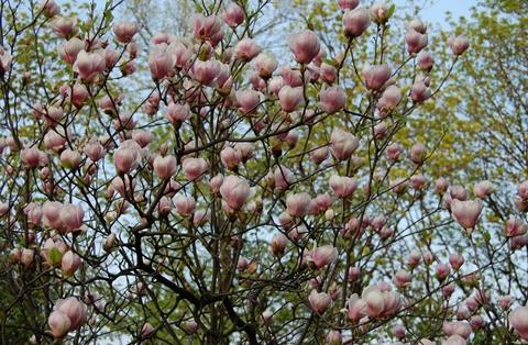 magnolii c