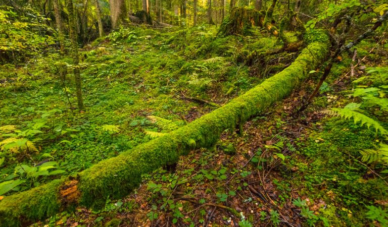 Rezervația Naturală Codrul Secular Slătioara