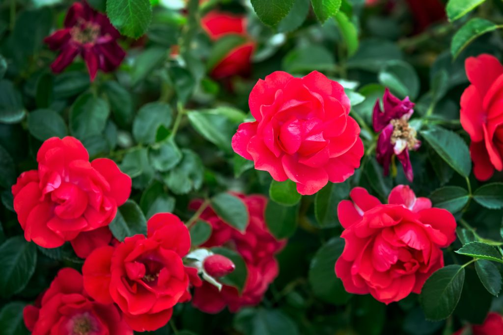 roses PNDSZG6 1