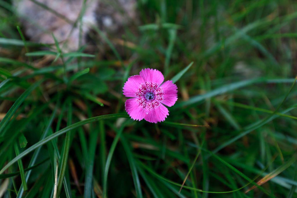 piatra craiului pink dianthus callizonus PNDKDQQ