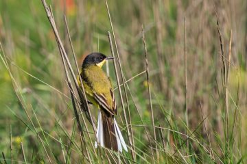 yellow wagtail warble P45MJ2H
