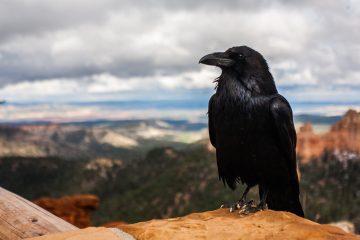 crow 828944 1920 1