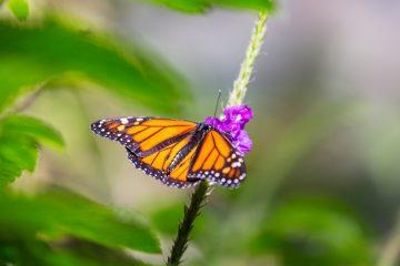 butterfly PGKY47M