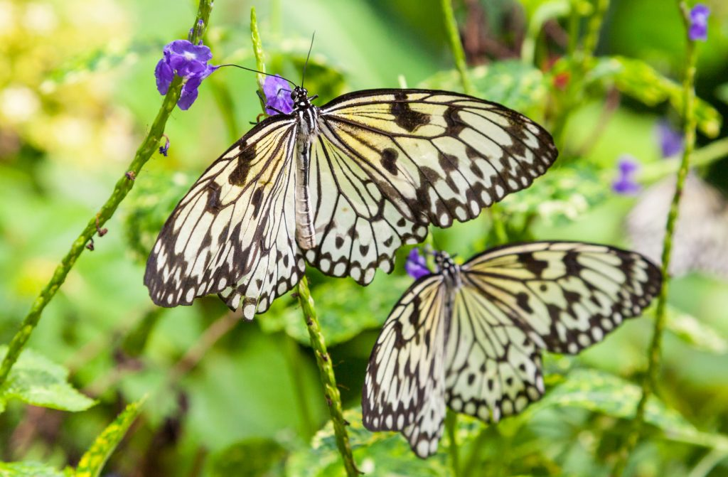 cream and black butterflies PTBJ9Q3