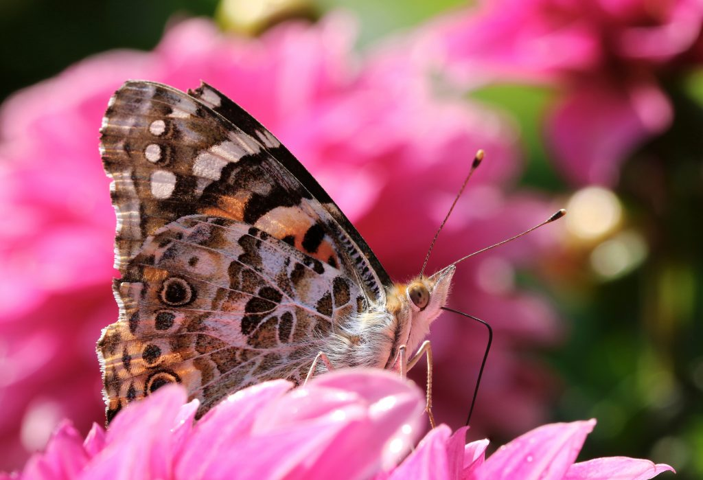 painted lady butterfly 6BHMUS8