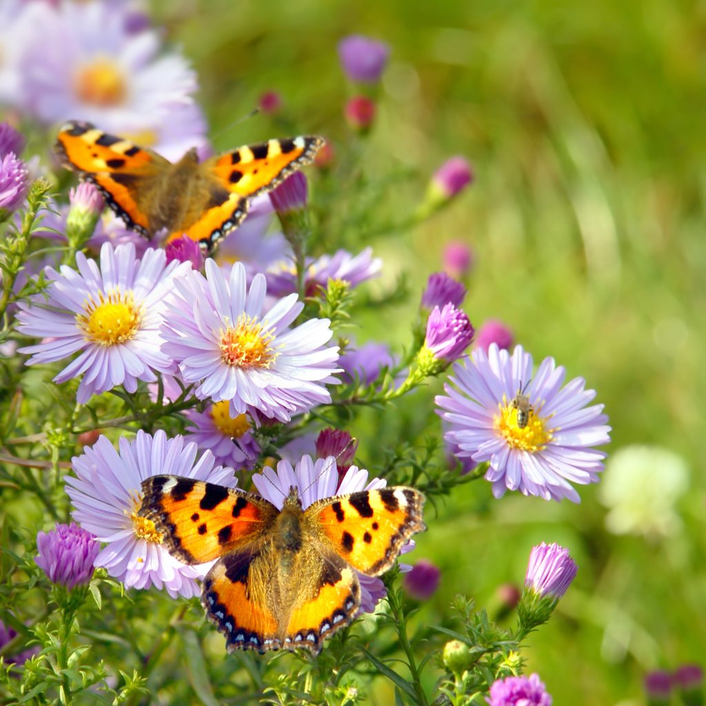 two butterfly on flowers PMJYNPA