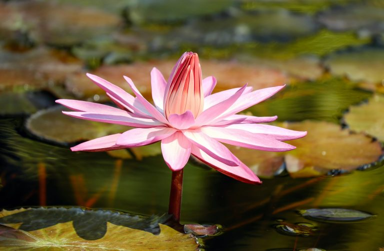 water lily 2504842 1920