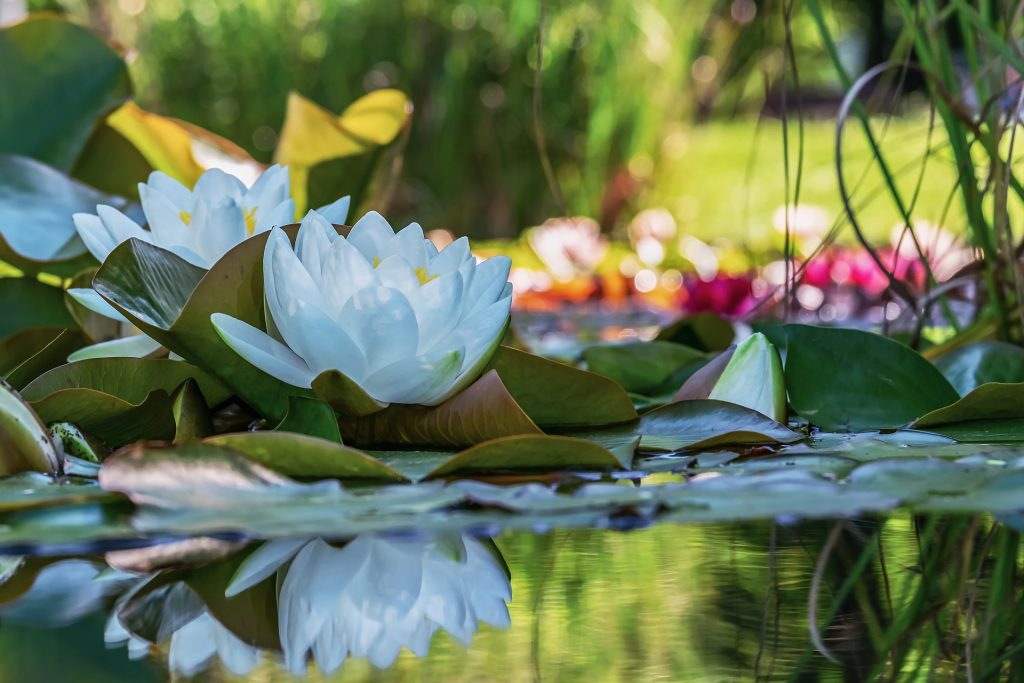 white water lily 4375773 1920